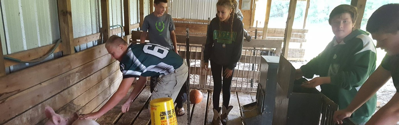 FFA students raising pigs at the FFA School Farm Barn